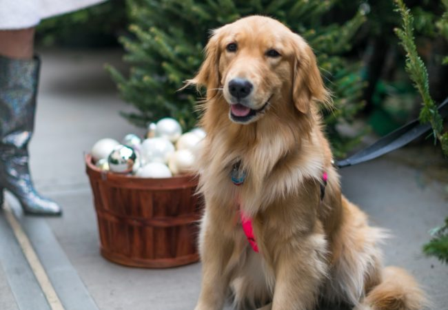 7th Dog of Christmas – @Goldens_Glee
